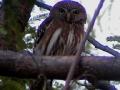 ferruginous-pygmy-owl