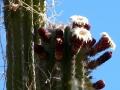 flowering-hecho-cactus