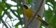 Beldings Yellowthroat copy