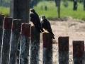 aplomado-falcons