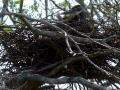 bare-thraoted-tiger-heron-on-nest