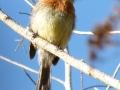 belted-flycatcher1