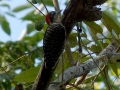 black-cheeked-woodpecker