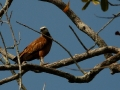 black-collared-hawk
