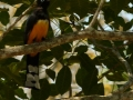 black-headed-trogon_0