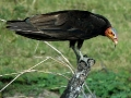 lesser-yellow-headed-vulture