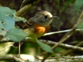 belted-flycatcher-2