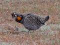 greater-prairie-chicken-ok
