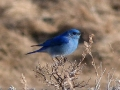 mountain-bluebird_0