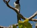 big-magpie-jay