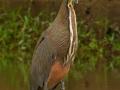 cr-bare-throated-tiger-heron