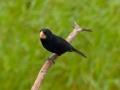 cr-nicaraguan-seedfinch