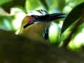 cr-turq-browed-motmot