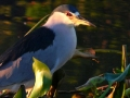 black-crowmed-night-heron-long