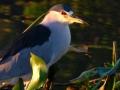 black-crowmed-night-heron-long