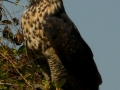 great-black-hawk-1