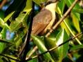 mangrove-cuckoo-trip2