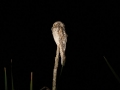 potoo-northern-b-2-17-09_2
