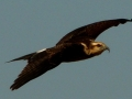 snail-kite-flying