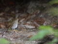 nightingale-thrush-russet-2-13-09_1