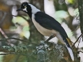 tufted-jay-candido-2