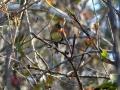 belted-flycatcher