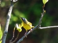 gray-crowned-yellowthroat