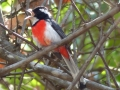 red-breasted-chat