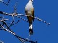 gray-silky-flycatcher