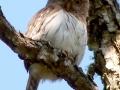 mean-colima-owl