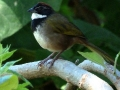collared-towhee-best