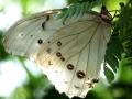 white-morfo