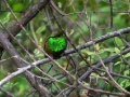 berylline-hummingbird