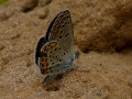 little-blue-butterfly