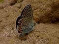 little-blue-butterfly