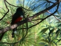 mountain-trogon1
