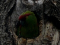 tb-parrot-in-nest-cavity-close-up
