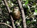 spotted-wren
