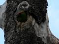 tb-parrot-in-nest-cavity