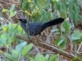 blue-mockingbird