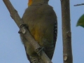 golden-cheeked-woodpecker