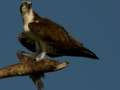 osprey-and-prize