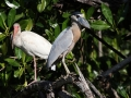 heron-boat-billed-ad-2-19-09_4