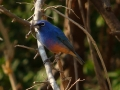 rose-bellied-bunting