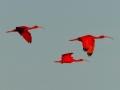 scarlet-ibis
