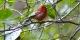 Red-Warbler