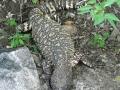beaded-lizard-at-el-pedregal