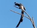 black-throated-magpie-jay