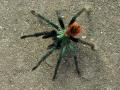 blue-tarantula