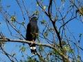 crane-hawk